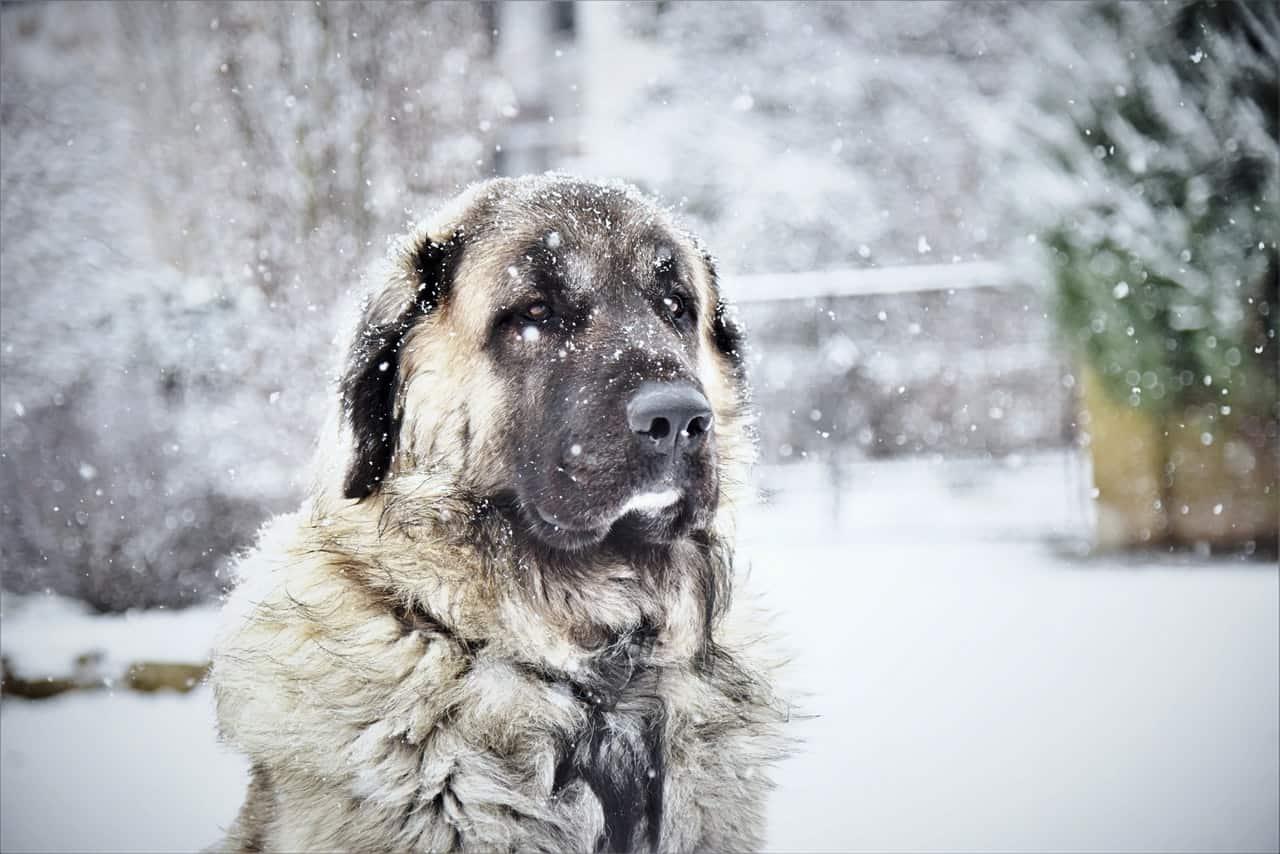 Grand chien sous la neige en hiver