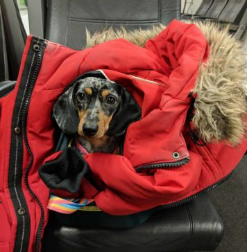 dachshund miniature sur un siège dans un wagon de train