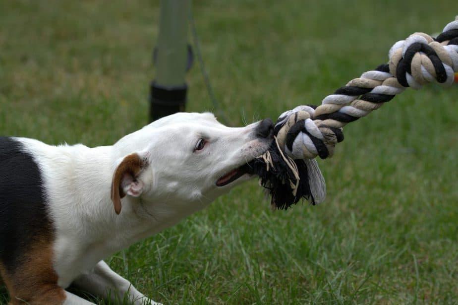chien qui tire sur un jouet en corde