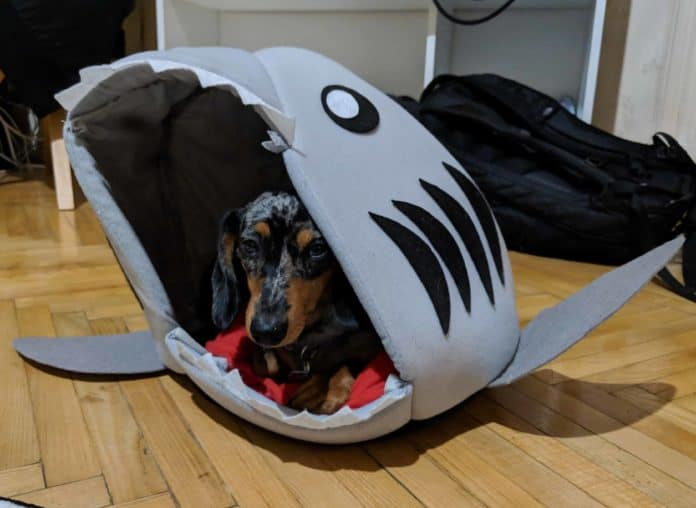 petit dachshund dans une niche requin