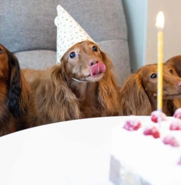 Longhaired Dachshunds, about to eat dog birthday cake