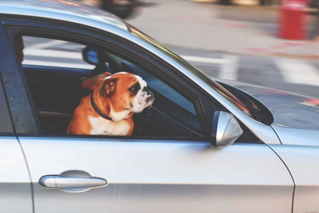 It's not advised to have your dog in the front passenger seat of your car