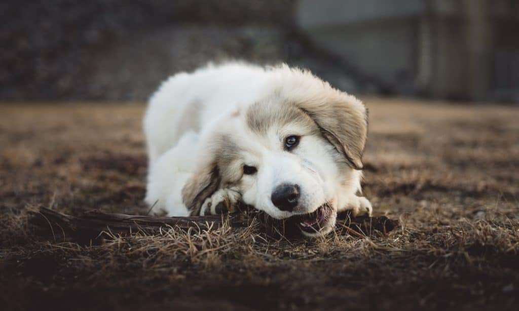 dog chewing on a piece of wood