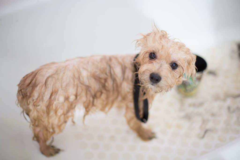 chien mouillé dans la baignoire