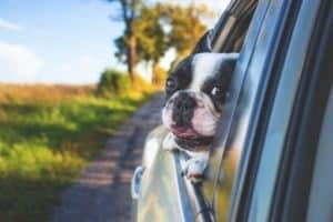 chien noir et blanc avec la tête hors de la vitre de la voiture