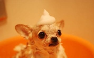 chihuahua rigolo dans le bain