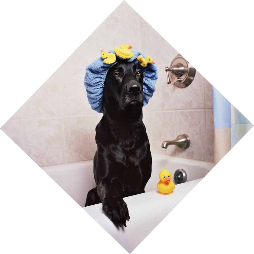 black labrador dog ready to be bathed, with rubber duck