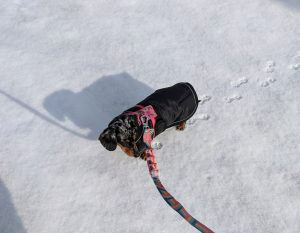 miniature dachshund in the snow