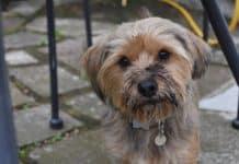cute muddy yorkshire terrier dog, ready for a bath