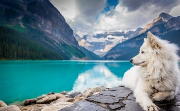 samoyed dog in banff national park in canada