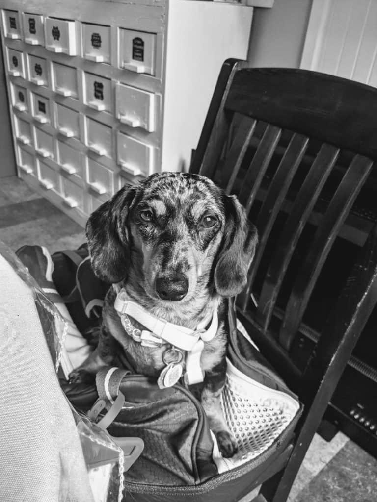 moscing le mini dachshund à l'auberge zacharie à desbiens, lac saint jean