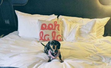 dachshund dans un hotel dog-friendly