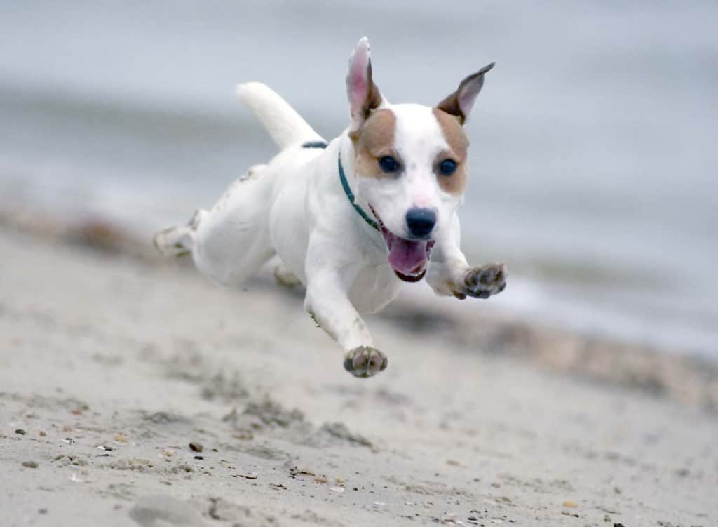 the best terrier in flight on the beach by jax photography