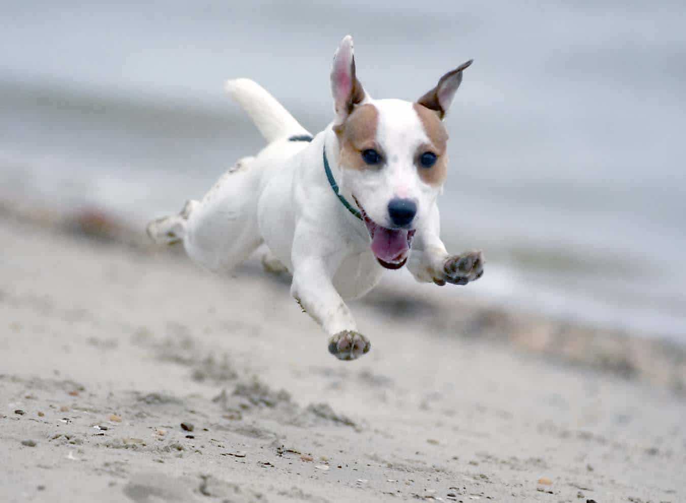 jack russell terrier mid air on a beach