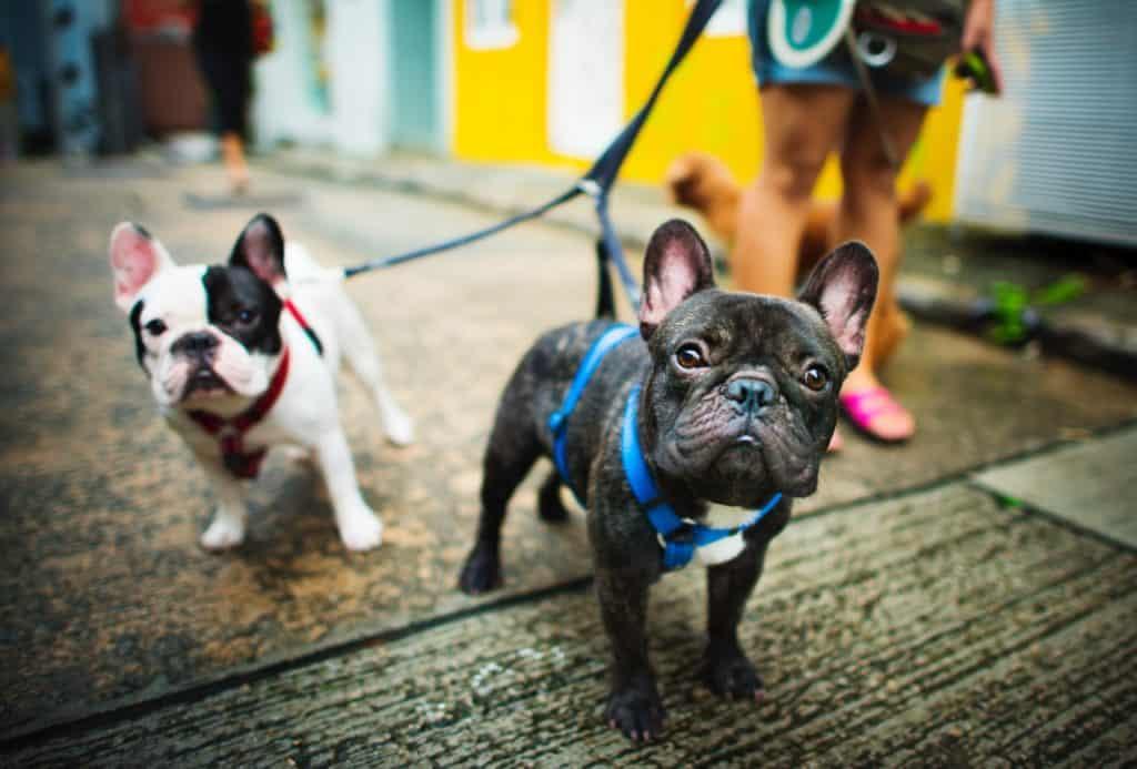 deux bulldogs français entrain d'être promenés en laisse