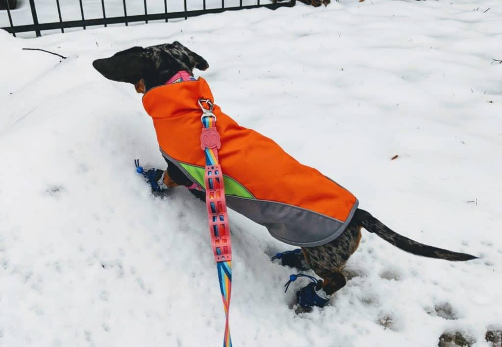 mocsing le dachshund à montréal, l'hiver, dans la neige. Elle porte un petit manteau orange et des petites bottes bleues.