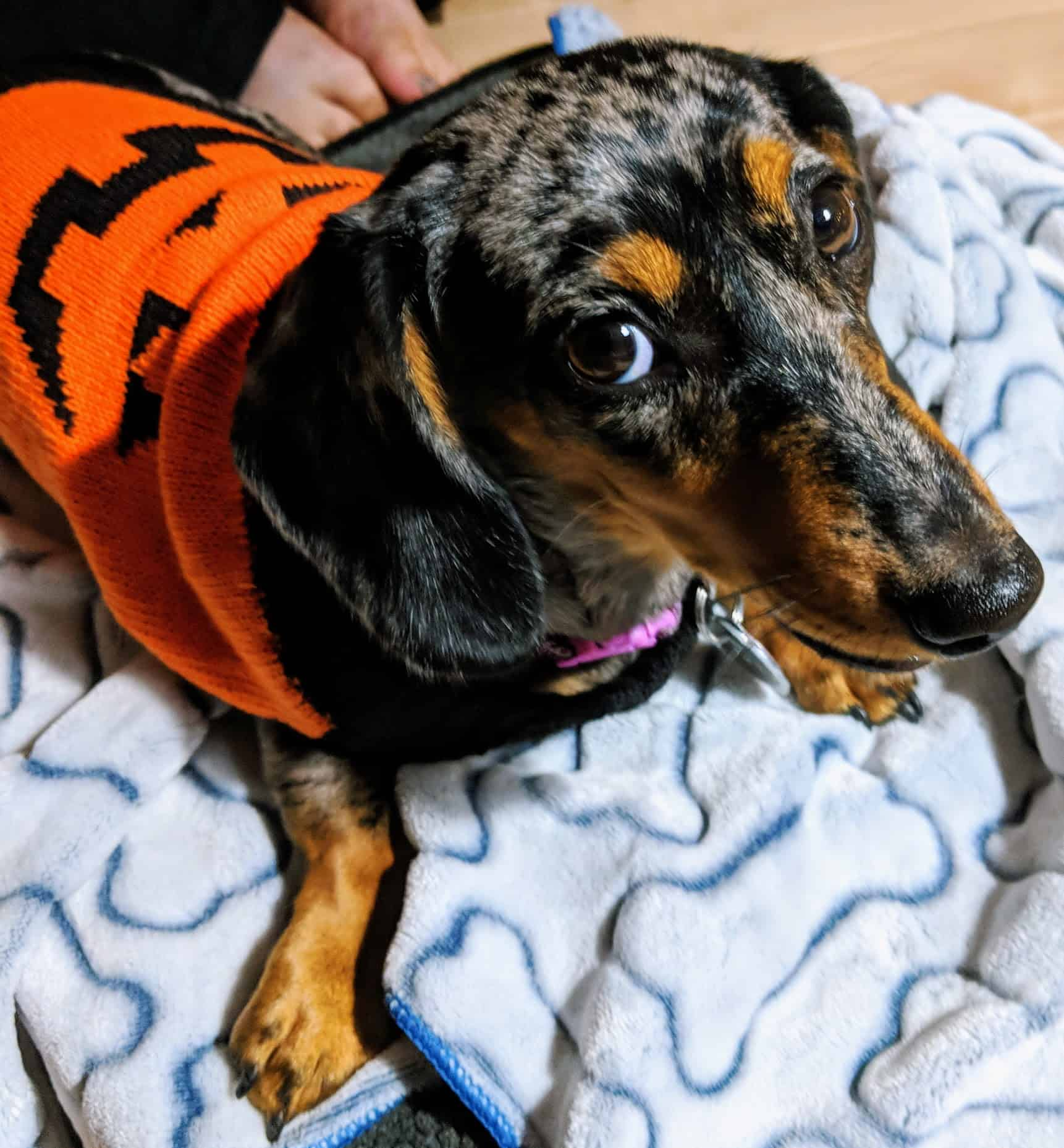 Weiner Dog Halloween Costumes.Great Halloween Costumes For Corgis And Dachshunds