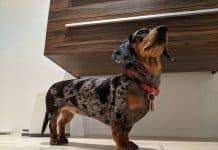 miniature dapple dachshund looking up