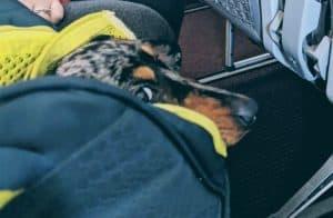 teckel anxieux dans la cabine de l'avion