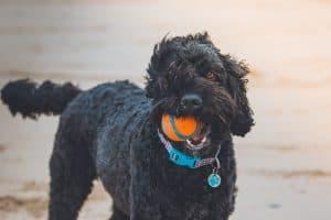 black dog with an orange chuckit orange ball