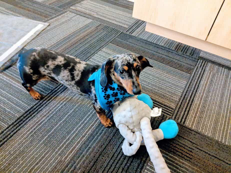 chiot dachshund avec jouet singe indestructible