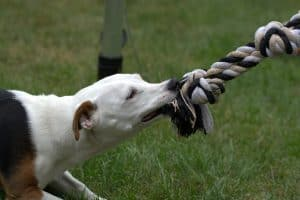 tug rope and jack russel terrier