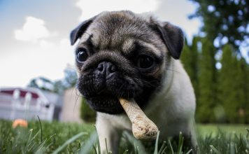 pug puppy with a bone in its mouth