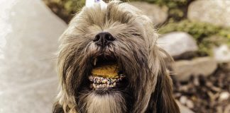 dog eating cookie