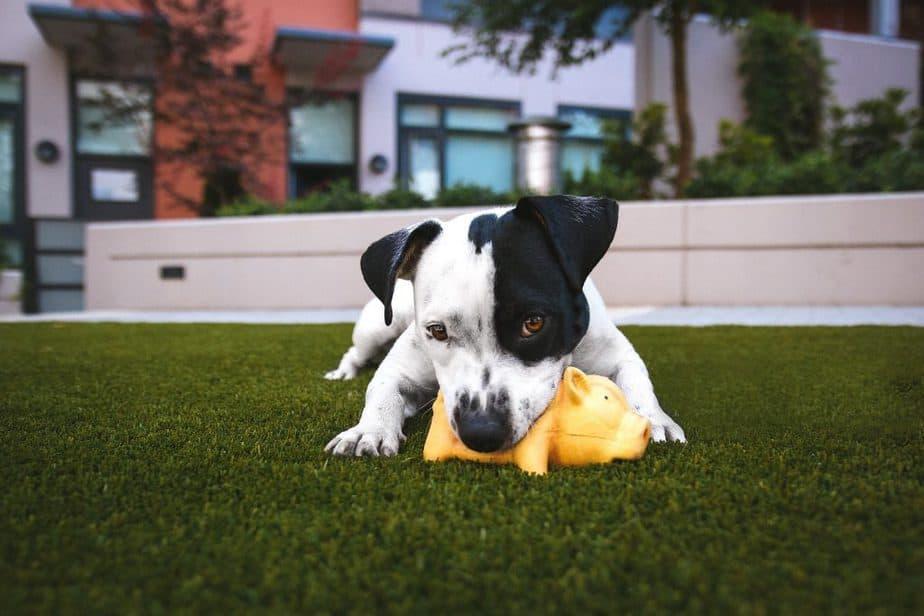 chien noir et blanc qui mord un jouet jaune