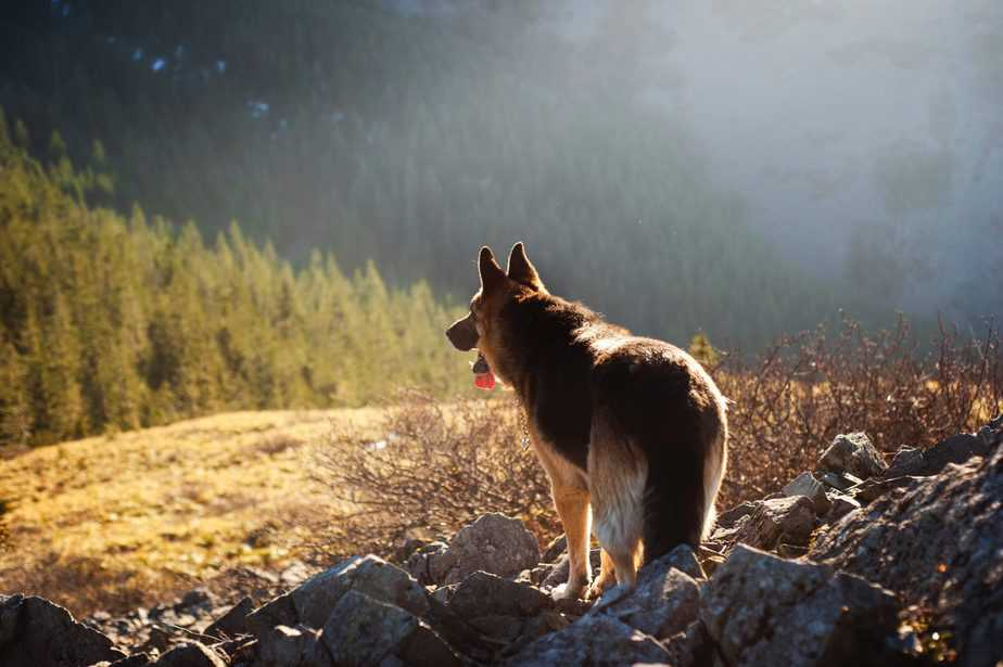 berger allemand de dos dans la nature