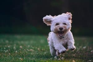white cockapoo running in green grass