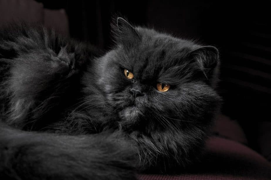 fluffy black cat with gold eyes