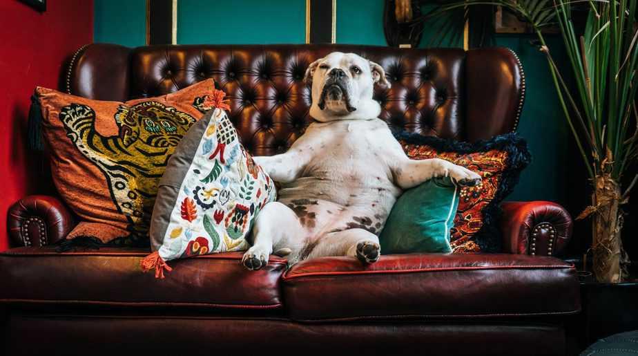 chien sur un canapé en cuir