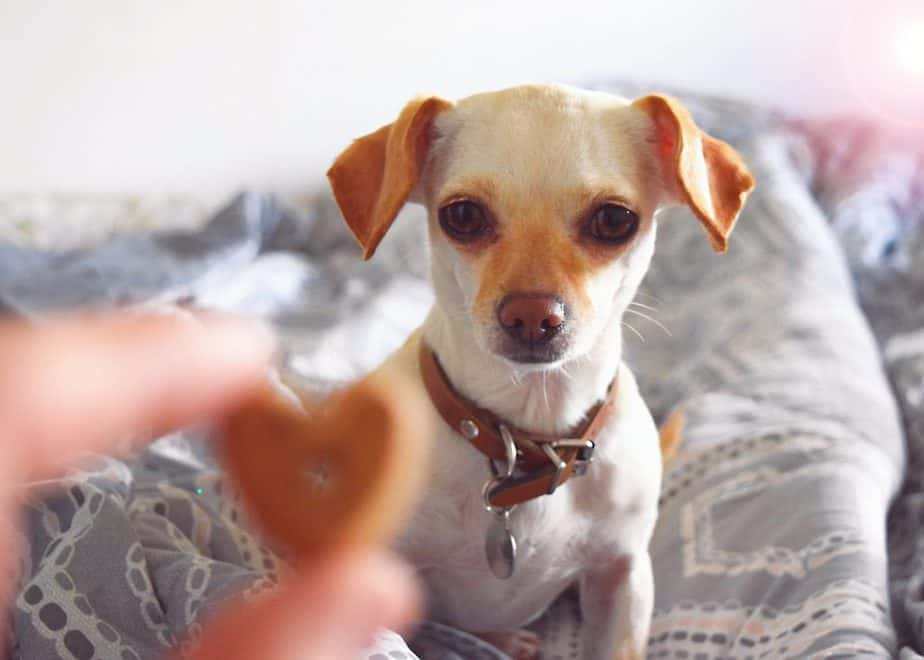 little chihuahua and owner's fingers holding a heart shaped dog treat