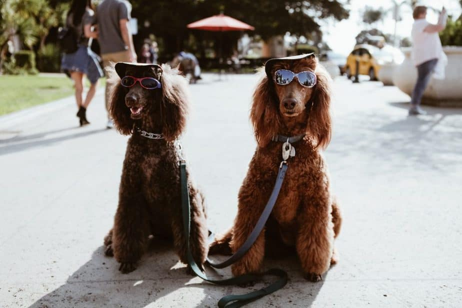 two hilarious brown poodles wearing sunglasses and looking smug