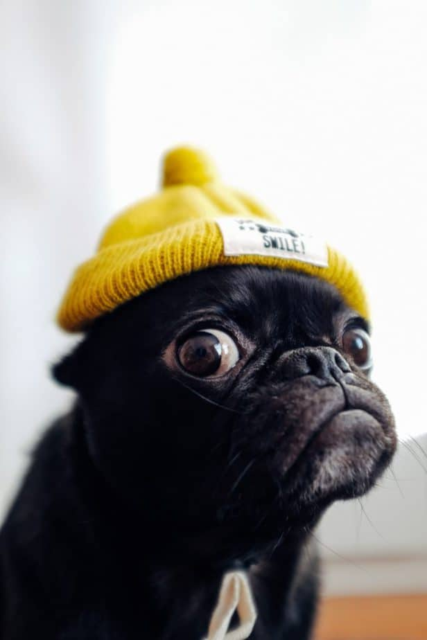 black pug with a yellow beanie on