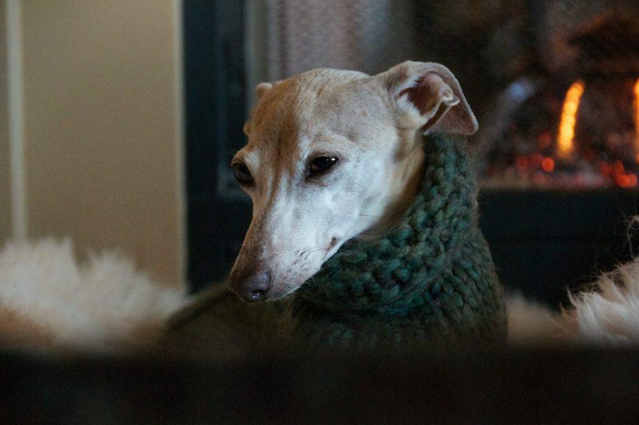 italian greyhound in a cozy green sweater