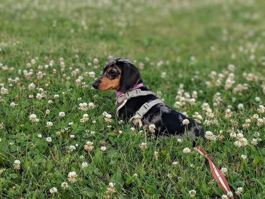 pourquoi choisir un harnais pour chiens