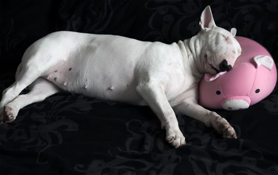 adorable all white bull terrier with a heart nose