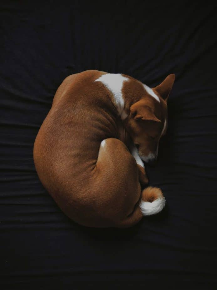 basenji sleeping in a donut form on black background