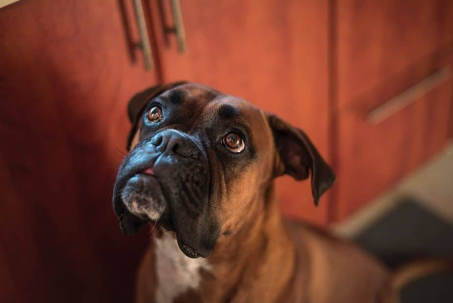 What Type Of Dog Is A Boxer?