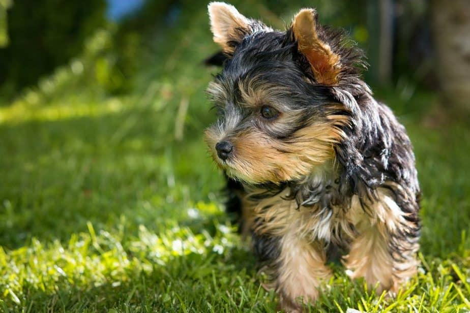 Buying a Yorkshire Terrier Puppy