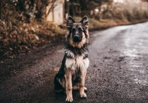 the big german shepherd faq