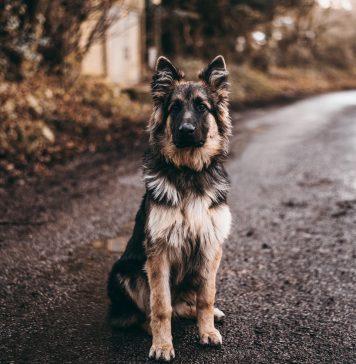 the big german shepherd faq