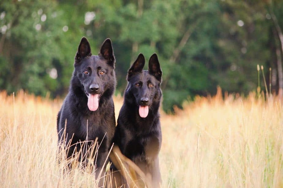 Why Are German Shepherds So Smart?