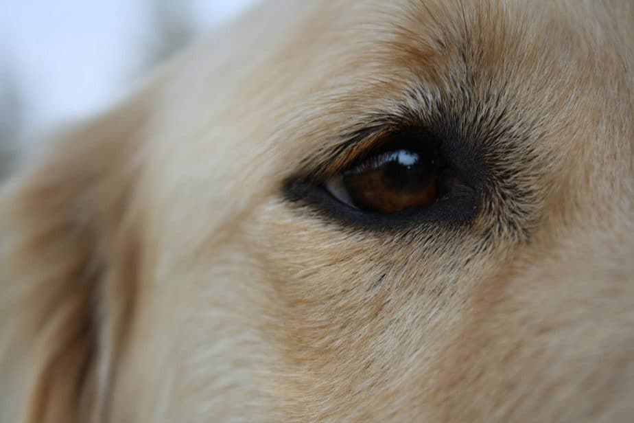 golden retrievers's eye diseases