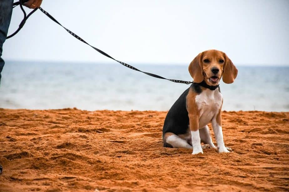 What Is A Pocket Beagle?
