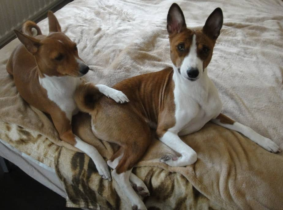 two basenji dogs on the bed