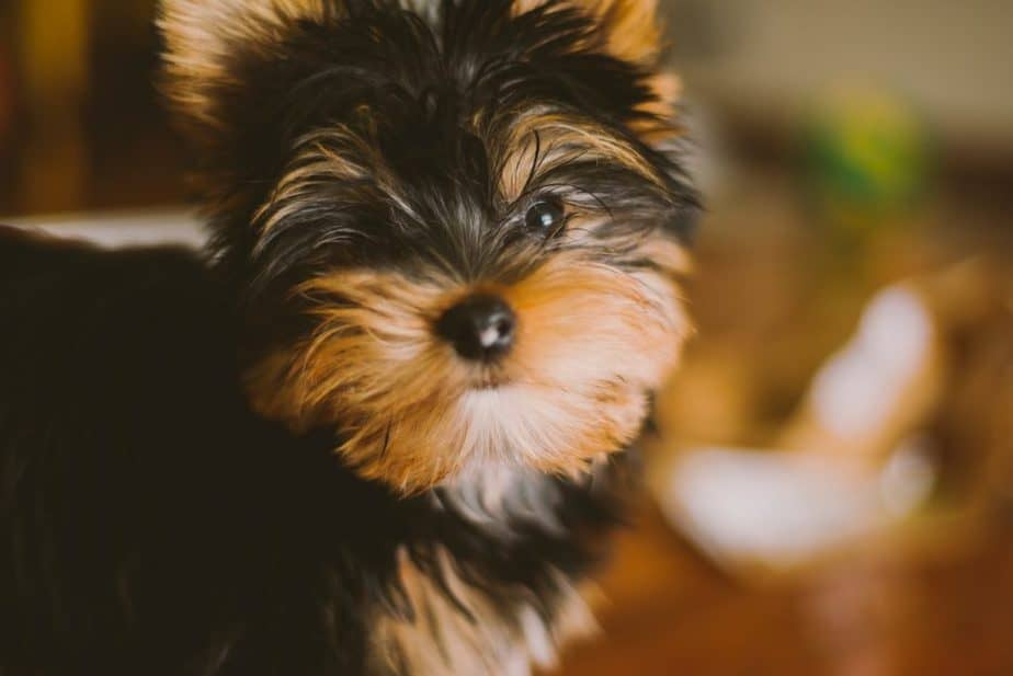 Why Does My Yorkshire Terrier Smell?
