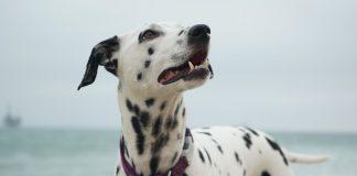 beautiful dalmatian by the beach